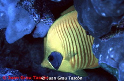CHAETODON SEMILARVATUS - POISSON PAPILLON DEMI-MASQU&#201; by Juan Grau Tasc&#243;n 